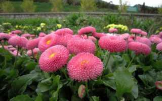 Маргаритки многолетние цветы