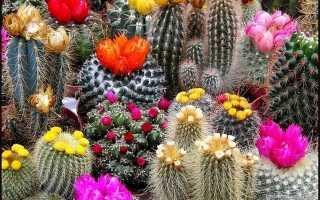 Почему не цветет кактус в домашних условиях