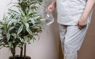 Как часто поливать драцену в домашних условиях