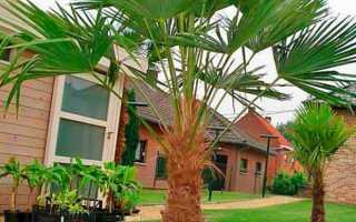 Разновидности домашних пальм