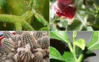 Красный клещ на комнатных растениях