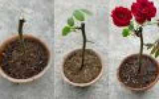 Укоренение роз из букета