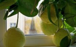 Болезни лимона домашнего