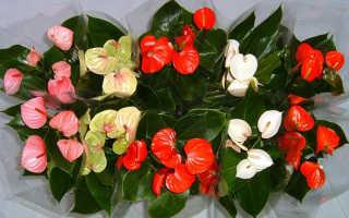 Женское счастье цветок как ухаживать