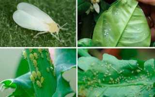 Вредители домашних цветов