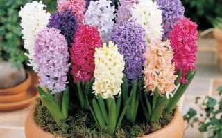 Гиацинт домашний цветок уход