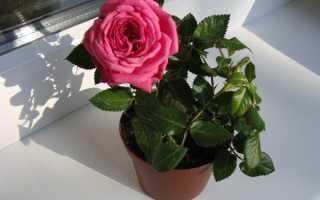 Паутинный клещ на комнатной розе