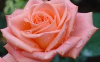Розы чайно гибридные сорта