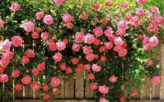 Английские розы сорта