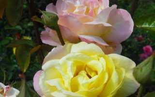 Неприхотливые розы цветущие все лето