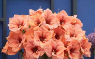 Гиппеаструм уход после цветения в домашних условиях