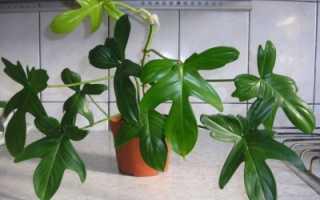 Растение филодендрон лазящий, комнатный и краснеющий: фото и уход в домашних условиях