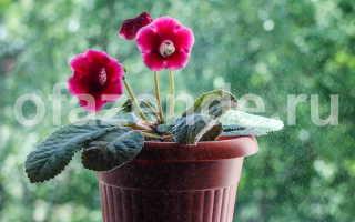 Как ухаживать за глоксинией в домашних условиях