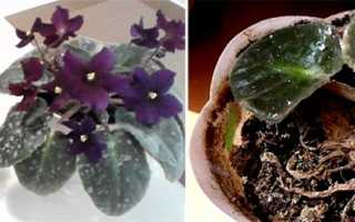 Чем обработать цветы от мучнистой росы