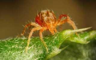 Мыльный раствор от паутинного клеща