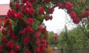 Лучшие плетистые розы для подмосковья