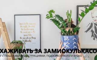 Замиокулькас как ухаживать в домашних условиях