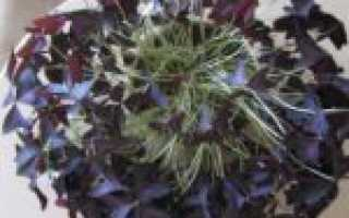 Цветок заячья капуста