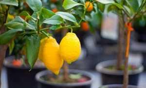 Обрезка комнатного лимона