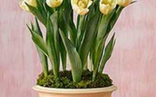 Выгонка тюльпанов