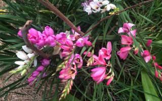 Иксия: посадка, выращивание и уход с фото, когда сажать и как посадить иксию