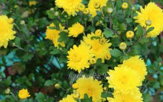 Хризантемы в саду