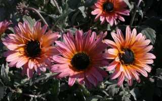 Цветы арктотис