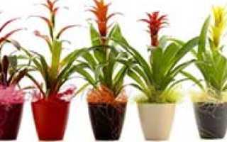 Почему не цветет гузмания в домашних условиях