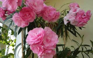 Олеандра цветок