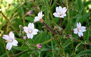Цветы кипрей узколистный и мелкоцветковый с фото: виды кипрея и где он растет