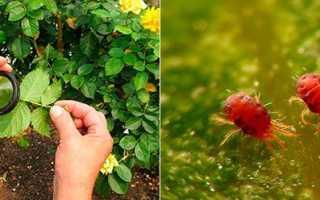 Роза покрылась паутиной что делать