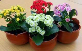Комнатный цветок каланхоэ: описание, фото и сорта (блоссфельда и мангина)
