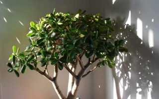 Обрезка денежного дерева в домашних условиях