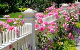 Как правильно высаживать розы