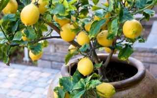 Формирование лимона
