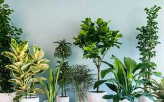 Домашнее растение с узкими длинными листьями