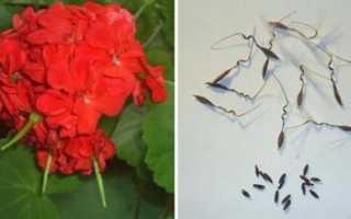 Как собрать семена герани в домашних условиях