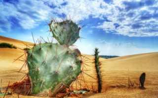 Пустынный кактус
