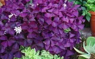 Кислица фиолетовая