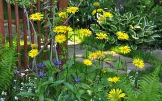 Желтые ромашки многолетники