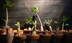 Адениум как вырастить