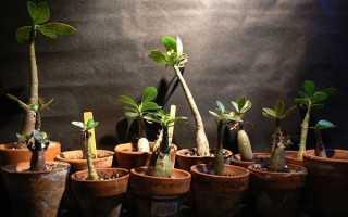 Адениумы уход в домашних условиях из семян