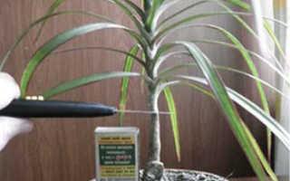 Размножение драцены черенками в домашних условиях