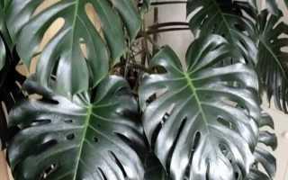 Монстера комнатное растение
