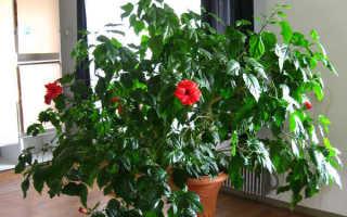 Китайская роза домашняя