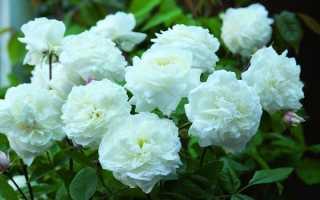 Как посадить привитую розу