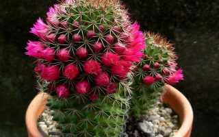 Как пересадить кактус отросток