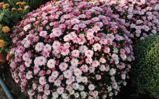 Хризантемы посадка и уход в сибири