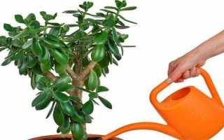 Болезни денежного дерева и их лечение