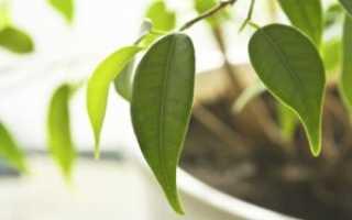 Фикус бенджамина опадают листья что делать